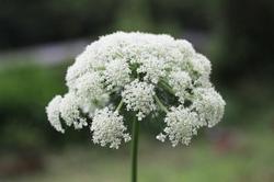 ニンジンの花.jpg