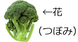 ブロッコリーつぼみ.png