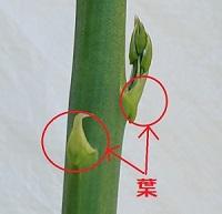 asupara_leaf.jpg
